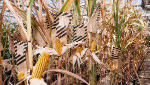 Beck's Hybrids employees manually pollinate corn varieties grown in its greenhouses, using striped bags to keep track of what was done when.